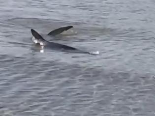 Φωτογραφία για Μεγάλος καρχαρίας εθεάθη να κολυμπάει στα ρηχά στο Ναύπλιο