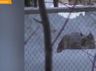 Φωτογραφία για Λύγκας εξαντλημένο από την πίνα και την δίψα πλησίασε ανθρώπους για βοήθεια (Video)