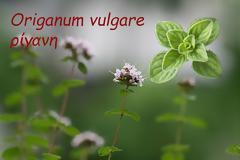 """Ρίγανη – το βότανο που έχει χαρακτηριστεί ως η """"Πανάκεια της Φύσης"""""""