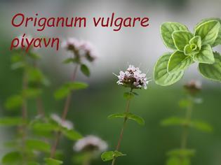 """Φωτογραφία για Ρίγανη – το βότανο που έχει χαρακτηριστεί ως η """"Πανάκεια της Φύσης"""""""