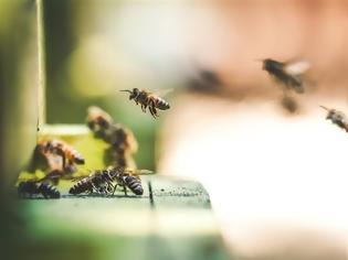 Φωτογραφία για Ολλανδία: Επιστήμονες εκπαιδεύουν μέλισσες να ανιχνεύουν τον κοροναϊό