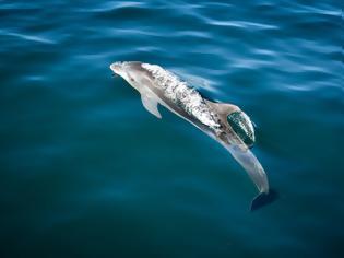 Φωτογραφία για Β. Ελλάδα: Νεκρά βρέθηκαν δύο δελφίνια και μία θαλάσσια χελώνα, σε μία ημέρα