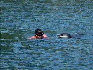 Φωτογραφία για Αλόννησος: Φώκια επιτέθηκε σε λουόμενο που… σώθηκε από φουσκωτό