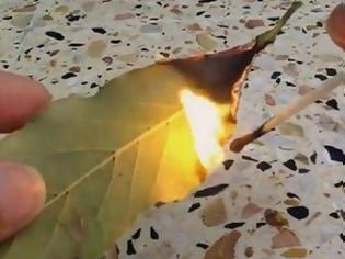 Φωτογραφία για Φοβερό! Κάψτε ένα φύλλο δάφνης μέσα στο σπίτι σας και δείτε τι γίνεται μετά από 10 λεπτά