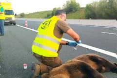 Κοζάνη: Τροχαίο με θύμα νεαρή αρκούδα στον κάθετο άξονα της Εγνατίας Οδού στο Καλονέρι