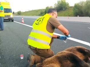 Φωτογραφία για Κοζάνη: Τροχαίο με θύμα νεαρή αρκούδα στον κάθετο άξονα της Εγνατίας Οδού στο Καλονέρι