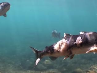 Φωτογραφία για Σοκαριστικό: Σολομοί βράζουν ζωντανοί μέσα σε ποτάμι (Video)