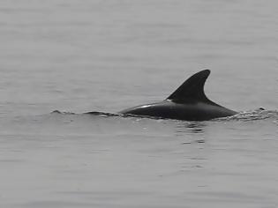 Φωτογραφία για Δελφίνια «διέσωσαν» κολυμβητή που ήταν αγνοούμενος για 12 ώρες