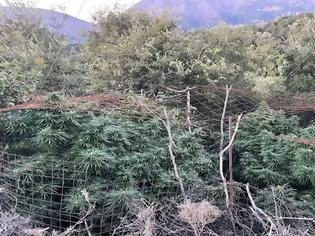 Φωτογραφία για Ρέθυμνο: Χασισοφυτεία με γιγαντιαία δενδρύλλια πέντε μέτρων στον Μυλοπόταμο