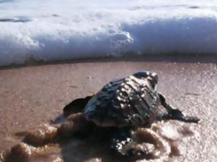 Φωτογραφία για Θαλάσσια χελώνα: μια ξεχωριστή φωλιά στον Λακωνικό Κόλπο