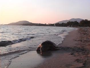 Φωτογραφία για Με ένα καρφί στο κεφάλι βρέθηκε μια θαλάσσια χελώνα στον Αμβρακικό!