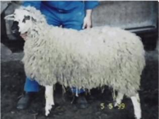 Φωτογραφία για Κτηνοτρόφος έκανε σεξ με πρόβατο και κατέληξε στο νοσοκομείο!