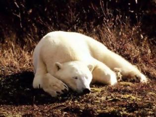 Φωτογραφία για Μια πολική αρκούδα περιπλανιέται στο Λονδίνο!