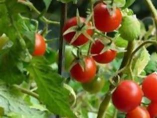 Φωτογραφία για Πλουσιότερες σε αντιοξειδωτικά οι βιολογικές ντομάτες;
