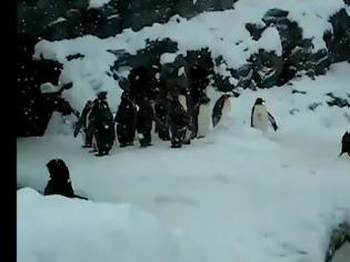 Φωτογραφία για ΒΙΝΤΕΟ με μαστουρωμένο πιγκουίνο κάνει το γύρο του κόσμου