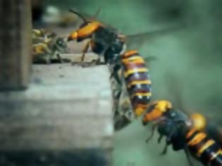 Φωτογραφία για 30 σφήκες επιτίθενται σε 30.000 μέλισσες (Επικό Video)