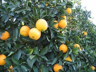 Φωτογραφία για Καρτέλ: Έμποροι κερδίζουν 600% από τα πορτοκάλια
