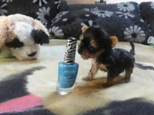 Φωτογραφία για Ο μικρότερος σκύλος στον κόσμο [video]