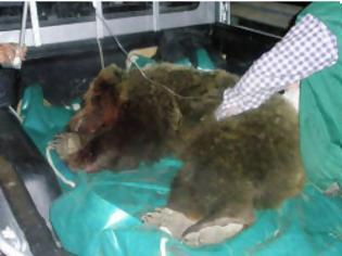Φωτογραφία για 11 νεκρές αρκούδες στην Εγνατία Οδό μέσα στο 2012!