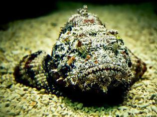 Φωτογραφία για Δηλητηριώδες ψάρι που μοιάζει με πέτρα!