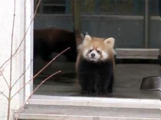 Φωτογραφία για Μωρό κόκκινο Panda παίρνει την τρομάρα της ζωής του [Video]
