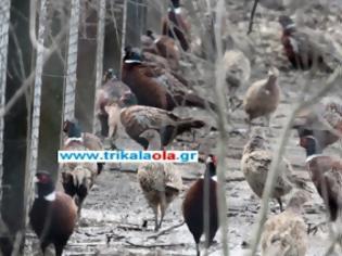 Φωτογραφία για Τρίκαλα: Διαμάχη Κυνηγετικών Συλλόγων για ψόφιους φασιανούς