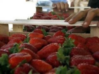 Φωτογραφία για Hλεία: Τι βρήκε η Οικονομική Αστυνομία πίσω από τις ματωμένες φράουλες;