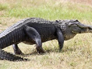Φωτογραφία για «Κροκοδειλάκιας» γαλλικής καταγωγής στην Αυστραλία