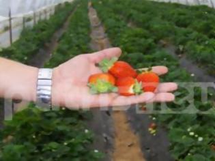 Φωτογραφία για Ηλεία: Oδυνηρές συνέπειες από το μποϊκοτάζ της φράουλας - Ακυρώθηκαν εξαγωγές σε Ρωσία και Ουγγαρία