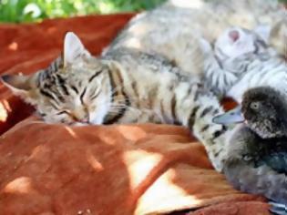 Φωτογραφία για Γάτα υιοθέτησε παπάκι!
