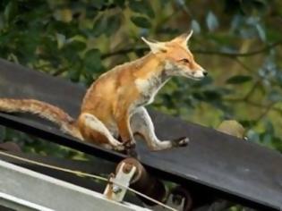 Φωτογραφία για Η αλεπού που τρελαίνεται για τσουλήθρα