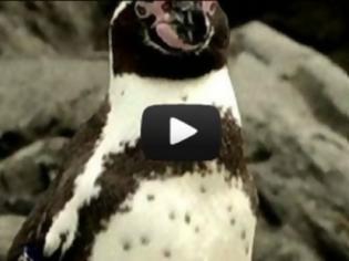 Φωτογραφία για VIDEO: Ο πιγκουίνος το έσκασε και μια… ολόκληρη πόλη τον ψάχνει