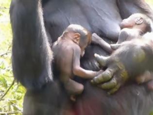 Φωτογραφία για ΜΟΝΑΔΙΚΕΣ ΕΙΚΟΝΕΣ: O Γορίλας που γέννησε δίδυμα...