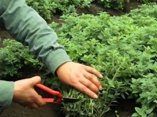 Φωτογραφία για Οι 10 «έξυπνες» καλλιέργειες που μπορούν να απογειώσουν το εισόδημά σας