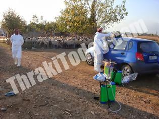 Φωτογραφία για Η ευλογιά σκότωσε 1.300 πρόβατα στην Ξάνθη