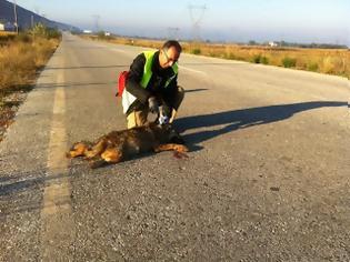 Φωτογραφία για Νεαρή λύκαινα σκοτώθηκε σε τροχαίο