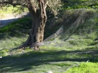 Φωτογραφία για Το λάδι... λαδάκι, θα πει η Κρήτη