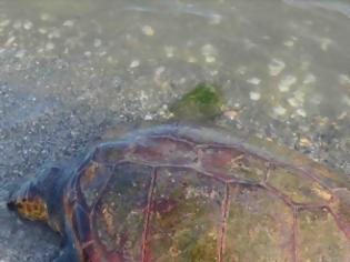 Φωτογραφία για Νεκρή χελώνα Καρέτα - Καρέτα στη Νέα Κίο [photos]