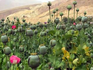 Φωτογραφία για Εντοπίστηκαν στη Θήβα οπιούχα φυτά