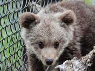 Φωτογραφία για Ζωήρεψε το αρκουδάκι του Αρκτούρου και ξεπέρασε τον κίνδυνο