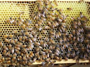 Φωτογραφία για Πέθανε 74χρονη όταν της επιτέθηκε σμήνος μελισσών