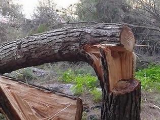 Φωτογραφία για Οι λαθροϋλοτόμοι μετατρέπουν το παραποτάμιο δάσος του Νέστου σε καυσόξυλα