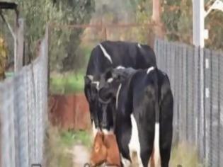 """Φωτογραφία για """"Επιδρομή"""" των αδέσποτων αγελάδων σε χωράφι με κηπευτικά..."""