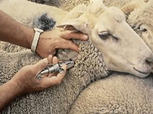 Φωτογραφία για Πανελλήνιο ρεκόρ εμβολιασμών ζώων στο νομό Ιωαννίνων!