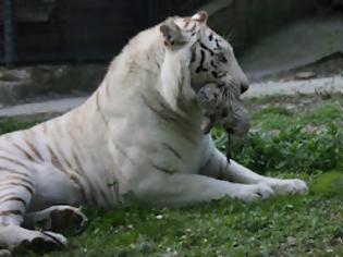 Φωτογραφία για Φωτογραφίες από τις νεογέννητες τίγρεις