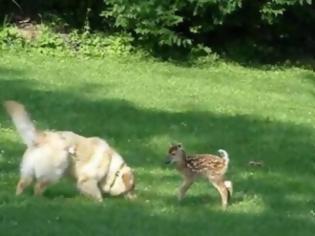 Φωτογραφία για VIDEO: Σκύλος και νεογέννητο ελαφάκι έγιναν αχώριστοι φίλοι!