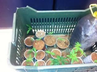 Φωτογραφία για Σκεπαστό Καλαβρύτων: 17χρονος καλλιεργούσε φυντάνια χασίς