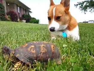 Φωτογραφία για Δείτε πως αντιδρά ένα σκυλάκι όταν διαπιστώνει ότι η χελώνα είναι... αληθινό ζώο [video]