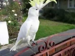 Φωτογραφία για ΤΡΕΛΟ ΓΕΛΙΟ: Παπαγάλος στην Αυστραλία τραγουδάει… «Σαν πας στην Καλαμάτα» [video]