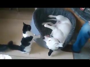 Φωτογραφία για Απίστευτο βίντεο: Δείτε πώς παίζει αυτό το γατάκι με το σκύλο... 30 κιλών! Ποιος θα κερδίσει; [video]